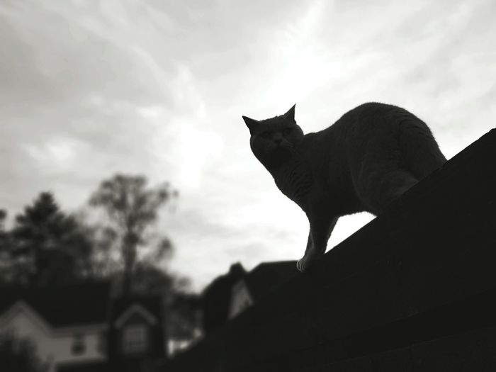 'But I don't want to go among mad people,' said Alice. 'Oh, you can't help that,' said the cat. 'We're all mad here.' Lewis Carroll Welcome To Black blackandwhite photography Domestic Cat Black Cat One Animal Silhouette Feline Pets Animal Domestic Animals Watching Animal Themes Sky Outdoors Pet Portraits