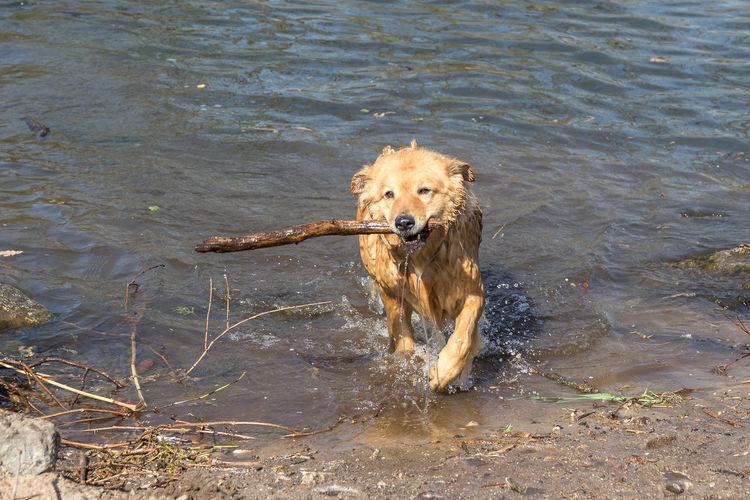 Portrait of golden retriever in lake