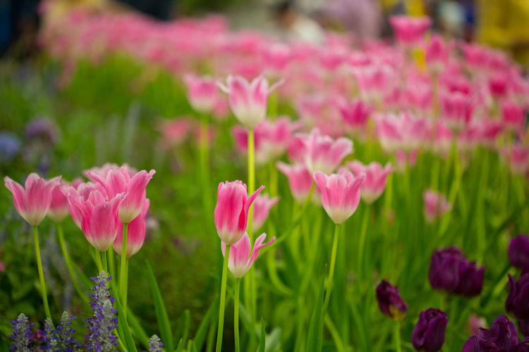 Tulips🌷 Flower Flowering Plant Plant Freshness Pink Color Beauty In Nature Fragility Growth Vulnerability  Close-up Petal Nature Green Color Flower Head Inflorescence No People Outdoors Day Selective Focus Focus On Foreground Springtime Flowerbed Clover Ornamental Garden
