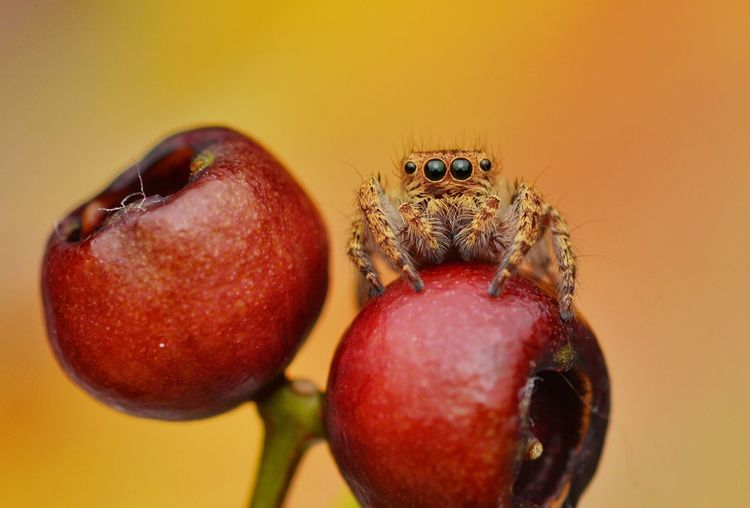 Jumping spider on red berries Fruit Close-up Red No People Nature Food Day Freshness Outdoors Animal Themes Macro_collection The Week On EyeEm Macro Photography EyeEmNewHere EyeEm Best Shots EyeEmBestPics Beauty In Nature Macro Beauty Arachnid Arachnid Photography Red Berries Jumping Spider Predator Autumn Background