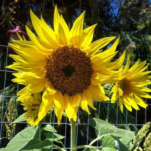 My Sunflowers in my secret garden are blooming! Happyflowers