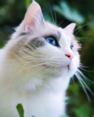 Catinthegrass Cat In The Grrenary Blueeyedcat Katze Ragdollcat Katzen
