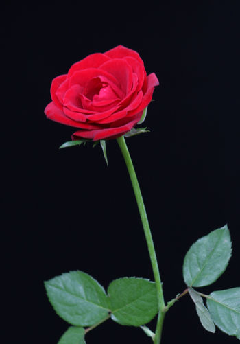 Rose Flower Closeup Beauty In Nature Black Background Blooming Close-up Day Flower Flower Head Fragility Freshness Growth Leaf Nature No People Outdoors Petal Plant Red Studio Shot