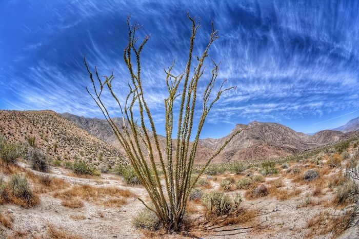 Ocotillo in Anza Borrego state park, CA Nature Desert Tranquility Plant Tranquil Scene Beauty In Nature Arid Climate Scenics Cactus Landscape Outdoors Growth Saguaro Cactus Mountain No People Day Sky Travel Destinations Wilderness Area Tree Ocotillo Cactus