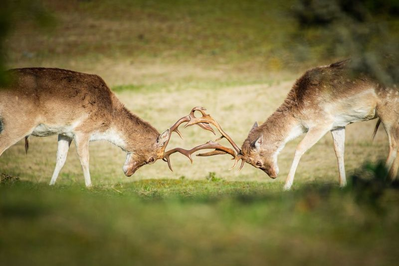 Side view of deer fighting on grassy land