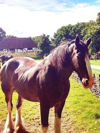 Clydesdale Horse Clydesdales  Horse Horses Horse Photography  Horse Life Horse <3 Horselove Horse Love Horselife Farm Farm Animals Farm Animal England England🇬🇧 England, UK England 🌹 England & Scotland England <3 England 🇬🇧 England ✝