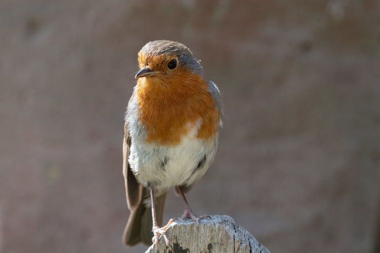 Portrait of a european robin perching on a wooden post