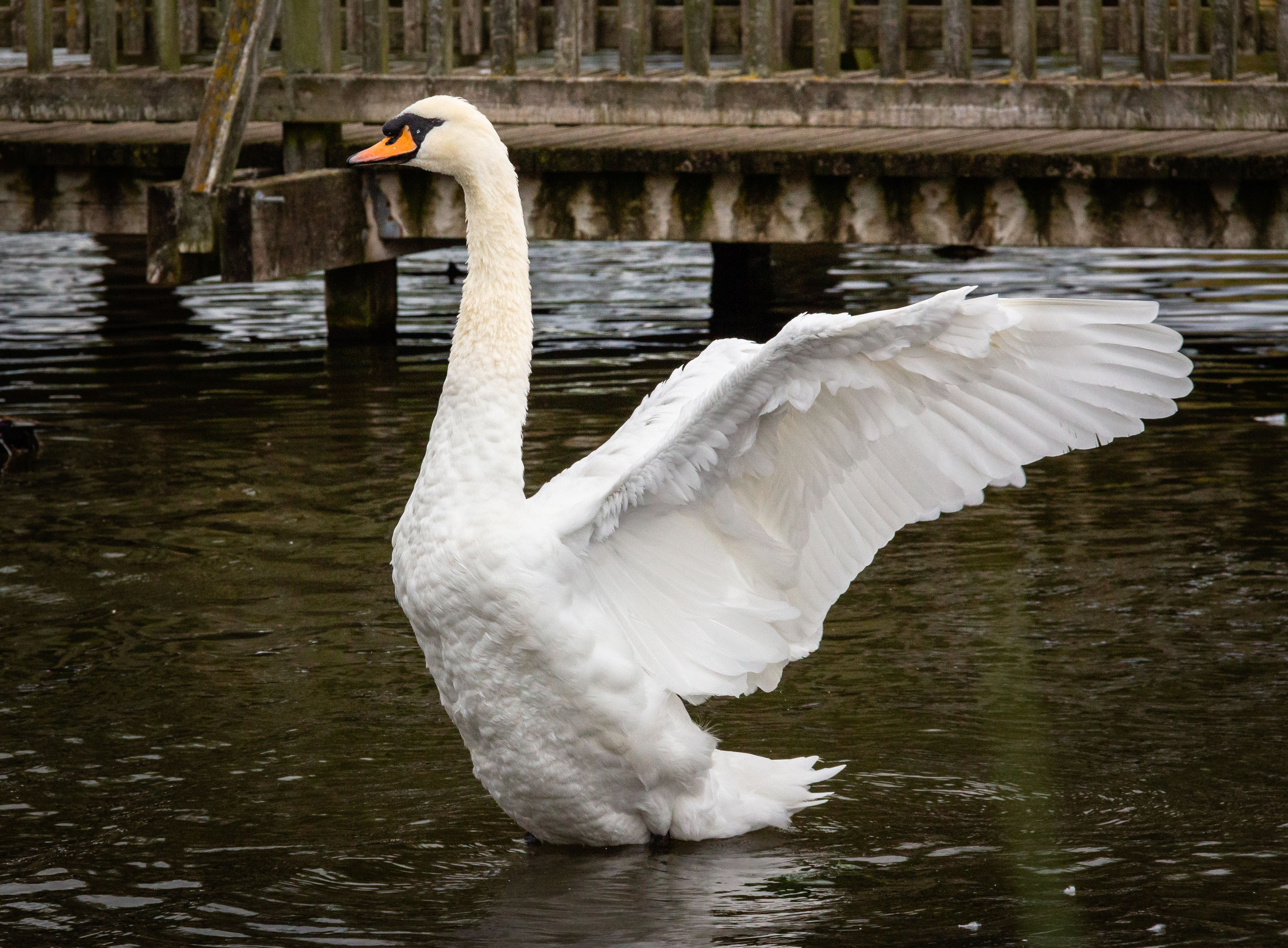water, vertebrate, animal themes, bird, animals in the wild, animal, animal wildlife, lake, swan, one animal, white color, water bird, zoology, day, nature, waterfront, spread wings, swimming, no people, animal neck, flapping
