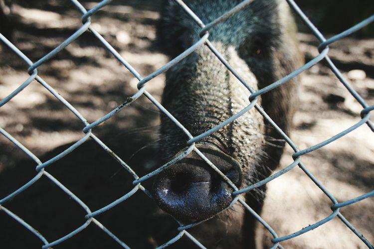 Close-Up Of Pig In Front Of Chainlink Fence On Field
