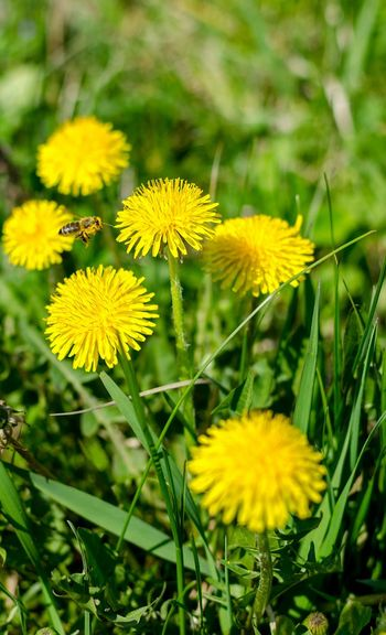 Dandelions Bee Flowers Flowers And Insects Flowers And Bee Sunny Day Nature Beautiful Nature EyeEm Nature Lover Nature_collection