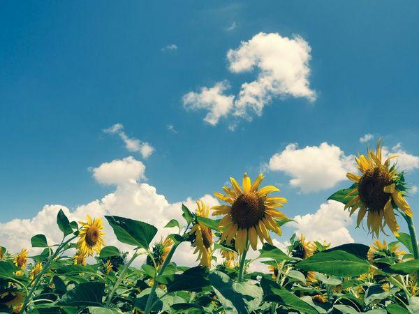 おはようございます🌞 ものすご〜くダラけてます♡ Olympus OM-D E-M5 Mk.II Cross Process Tokyo Street Photography Plant Flower Growth Flowering Plant Sky Beauty In Nature Freshness Sunflower Yellow Low Angle View Cloud - Sky Blue