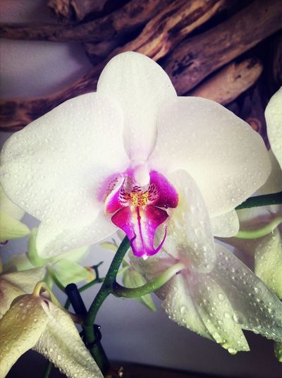 Orchidee. Orchid Closeup Get Close