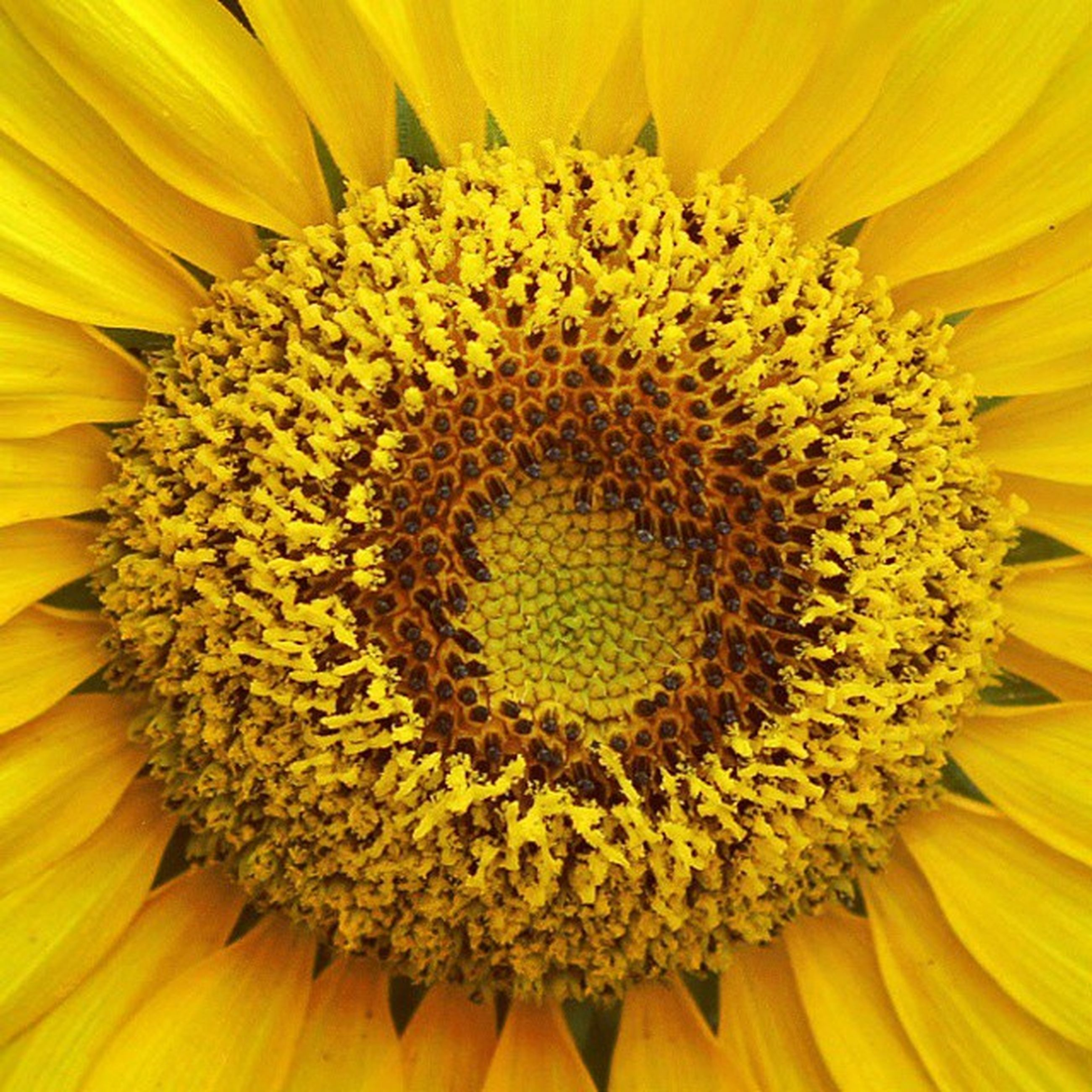 flower, yellow, flower head, freshness, petal, full frame, fragility, backgrounds, beauty in nature, growth, pollen, close-up, nature, sunflower, blooming, single flower, extreme close-up, macro, natural pattern, blossom