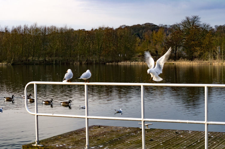 Sea gulls at Whitlingham Country Park, near Norwich. Norwich Whitlingham Country Park Animal Themes Animals In The Wild Beauty In Nature Bird Day Lake Nature No People Outdoors Sky Spread Wings Swan Tree Water