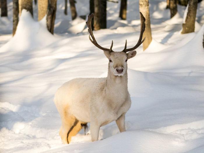 Portrait of deer on snow field