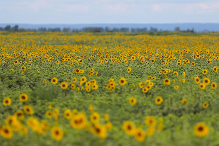 Yellow Flower Flowering Plant Growth Beauty In Nature Plant Field Selective Focus Land Freshness Nature Day Landscape No People Rural Scene Fragility Tranquility Vulnerability  Flower Head Agriculture Sunflower Outdoors Flowerbed