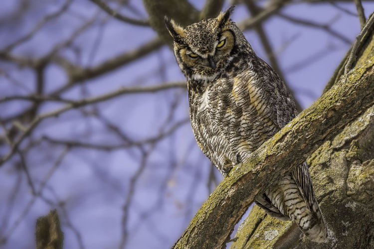 Birds Of EyeEm  Birds Of Prey Great Horned Owl Iowa Animal Animal Themes Animal Wildlife Animals In The Wild Barred Owl Bird Birds Branch Day Focus On Foreground Nature No People One Animal Outdoors Owl Owl Eyes Perching Tree