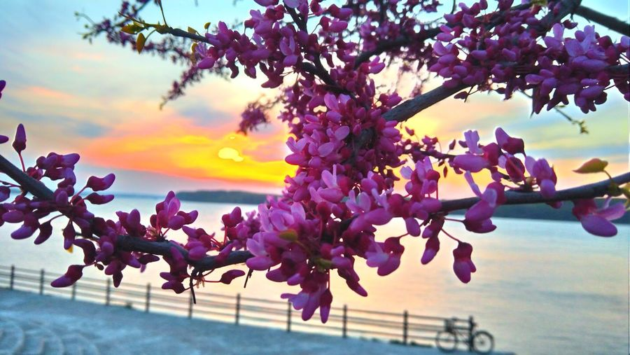 Pink blossom at