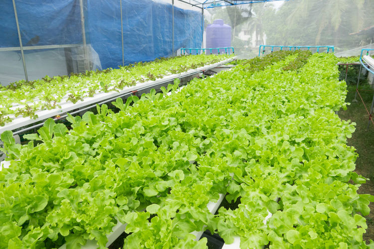 Hydroponic lettuces in hydroponic pipe. Hydroponic vegetable farm Vegetable Food And Drink Healthy Eating Food Wellbeing Freshness Green Color Agriculture Lettuce Organic Greenhouse Plant Growth Retail  Choice Day Abundance Market Variation Nature Outdoors Plant Nursery
