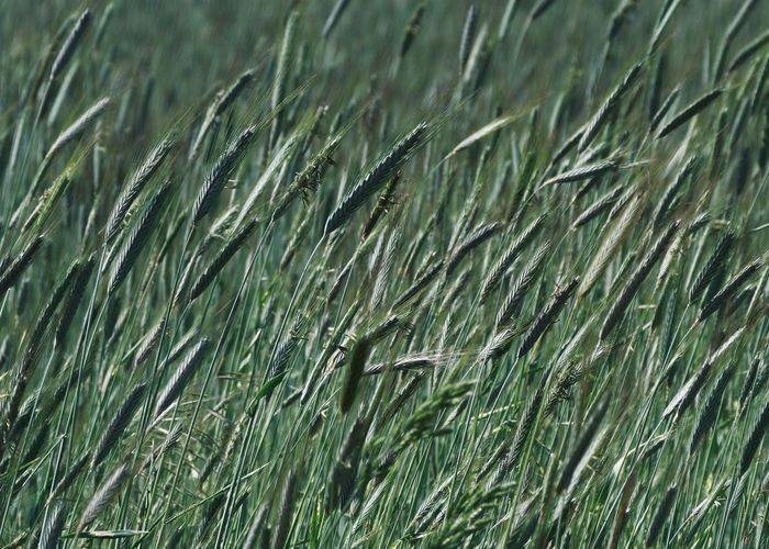 Close-up of barley in a green crop Growth Green Color Plant Field Full Frame Agriculture Backgrounds Land Cereal Plant Nature Grass Crop  Beauty In Nature Blade Of Grass Close-up Landscape Wheat Rural Scene Farm Agriculture Field