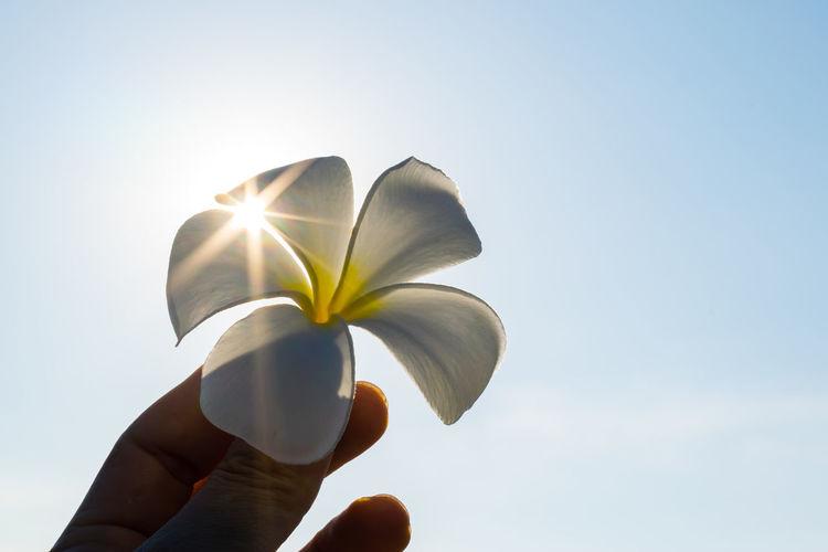 star on petal of flower Flower Head Flower Human Hand Frangipani Yellow Clear Sky Petal Sunlight City Sky Plant Life Blossom