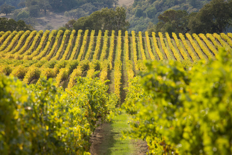 Vineyards in Autumn Plant Growth Rural Scene Landscape Agriculture Field Land Scenics - Nature Farm Beauty In Nature Crop  Tranquility Tranquil Scene Nature Vineyard Green Color Day No People Rows Autumn colors Fall Colors California