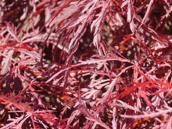 Background Japanese dwarf red maple leaves closeup beauty in nature Red Full Frame Plant Part
