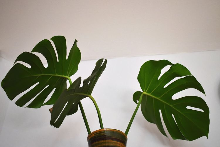Close-up of potted plant against white wall