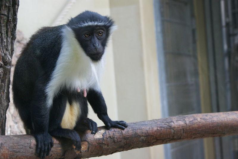 Animal Themes Looking Monkey Monkey In Zoo One Animal Wildlife
