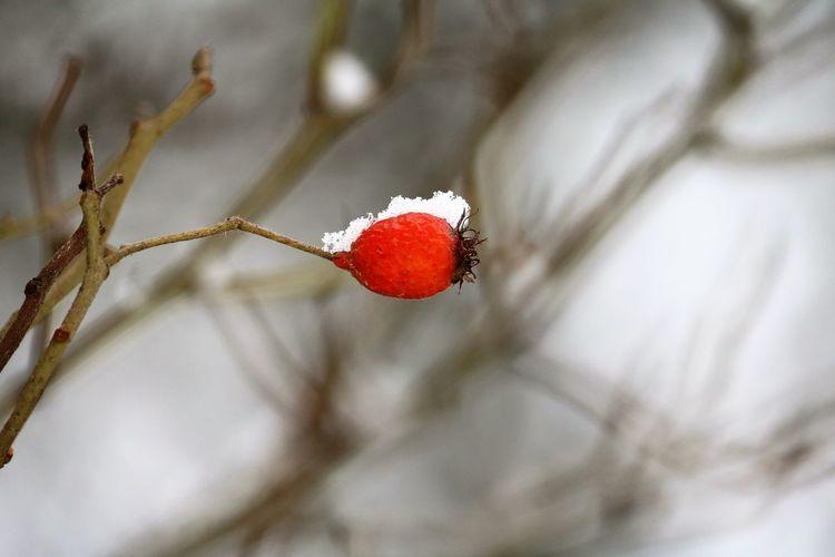 🍃🌺HAGEBUTTE NENNT MAN MICH🌺🍃 Hagebutte nennt man mich, häng am Zweig, allein´ nur ich. Mein Kleid ist rot und voller Falten, Väterchen Frost lässt seine Stärke walten. Habe nie gedacht, was er mit mir hat heute Nacht gemacht. Verzaubert mein Kleid in tausend Diamanten und mein Herz hat nur gelacht. (© Alke-Gunda Karowski, 2016) Beauty In Nature Cold Temperature Eye4photography  EyeEm Gallery EyeEm Nature Lover Happy Moments Life's Simple Pleasures... Nature Nature On Your Doorstep Nature Photography Nature's Diversities No Edit/no Filter Poetry In Pictures Snow Covered Snow ❄ Snowy Days... Untamed Heart Wintertime