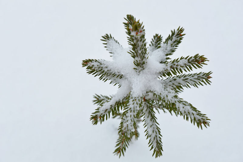 Twinkle twinkle little star.. Amazing Plant Amazing Tree Christmas Tree Fir Like A Star Fir Tree Nature No People Small Fir Snowy Star Winter Wintertime