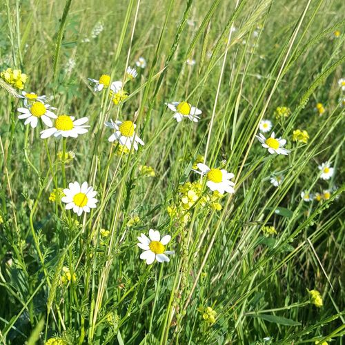 Sprinflowersinbloom Wildflowers Happiness ♡ Springtime Flower Freshness Growth Fragility Beauty In Nature Daisy Grass White Green Color Close-up Nature Yellow Blossom Springtime Daisies Selective Focus Plant Field Petal Day
