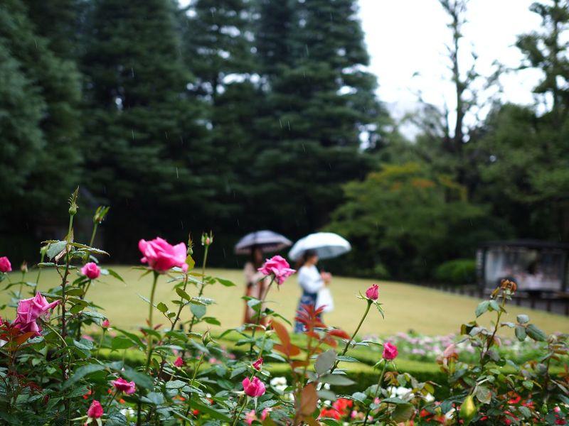 後ろの美女たちに気を取られて微妙にフォーカス外したら雨が写った🤣 Flower Rose - Flower Plant Fragility Flower Head Green Color Rainy Days Rainfall Raindropshot Focus On Foreground Women Olympus OM-D E-M5 Mk.II