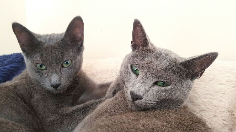 Leeloo and Mollys preparing for their afternoon nap Things I Like Catoftheday Gatos ロシアンブルー Azulruso Russianbluecat RussianBlue Catsmosh Silvercat Propetsfeature Rosyjskiniebieski Gats Russischblau Excellent_cats Kotek Kot Bluecat Cat_features Thedailykitten Catstocker Catstock N1cecats Instakitty Instacat Russianbluesofinstagram