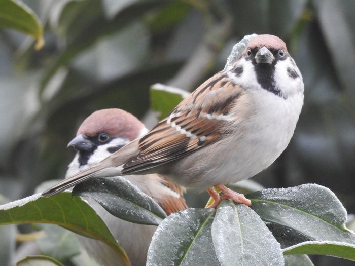 Animal Themes Animal Bird Vertebrate Animals In The Wild Animal Wildlife Plant Part Perching Leaf Group Of Animals Plant Two Animals Close-up Focus On Foreground Day Nature No People Tree Sparrow Outdoors Animal Family Alertness Cold Temperature Bird Photography Naturelovers