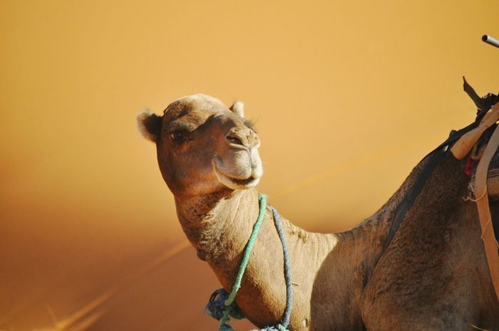 EyeEm Selects Camel One Animal Desert EyeEmNewHere EyeEm Ready