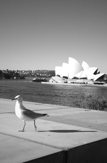 Birds Sydney Opera House