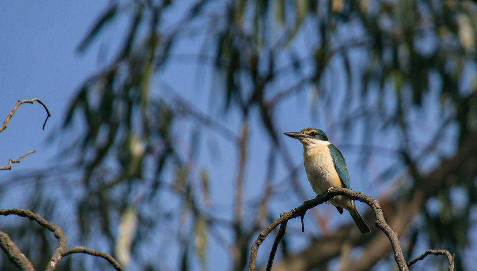 Sacred Kingfisher (Todiramphus sanctus) 500mm Animal Themes Animal Wildlife Animals In The Wild Beautiful Feathers Beauty In Nature Bird Birdingphotography Branch Colourful Nature Native Birds Nature No People Outdoors Perching Riverbank Sacred Kingfisher Sigma Lens Sony Sony Photographer Todiramphus Sanctus Tree