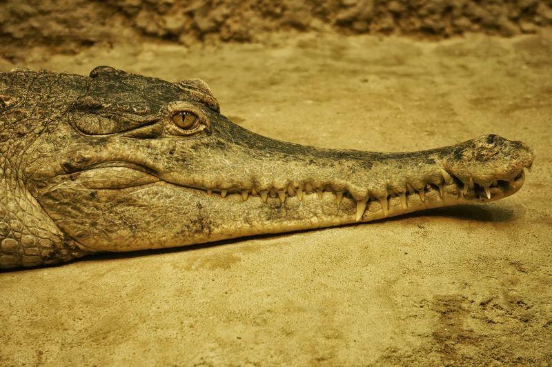 Croc Omaha Zoo Alligator