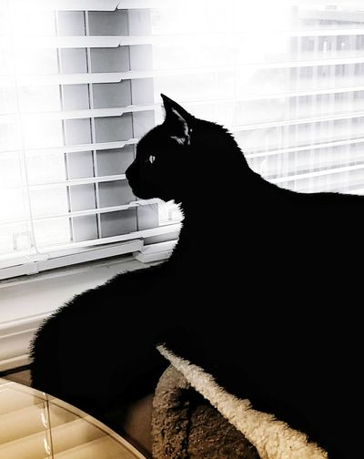 My Boy Boo Boo! Domestic Cat Silhouette Feline Pets Domestic Animals One Animal Window Animal Themes Black Cat Black And White Photography Black Cats Are Beautiful Cat Looking Out Of The Window Home Interior Indoors  EyeEm Best Shots EyeEm Gallery Cell Phone Photography
