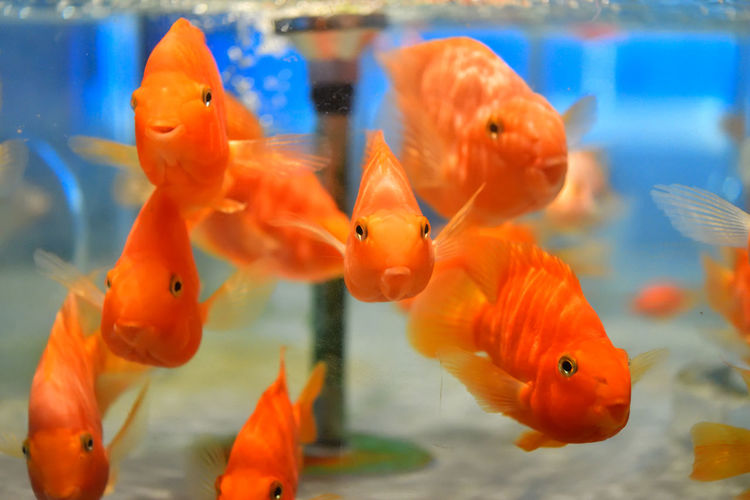 Goldfishes swimming in fish tank