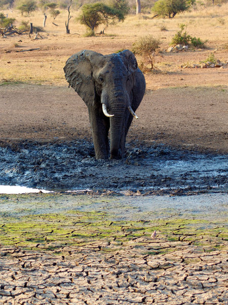 Big African elephant taking a mud bath Africa African Elephant Animal Animal Themes Animal Wildlife Animals In The Wild Day Elephant Kruger Park Krugernationalpark Mammal Mud Mudbath Nature No People One Animal Outdoors South Africa Water