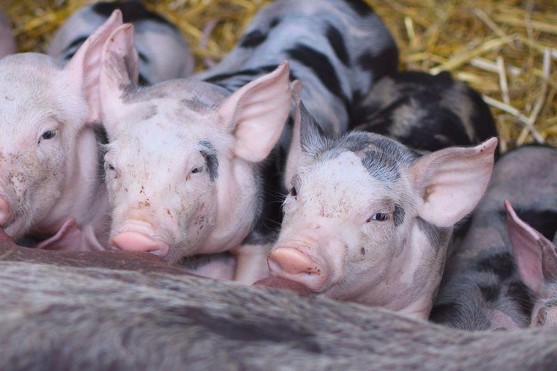 Close-up of piglets at barn