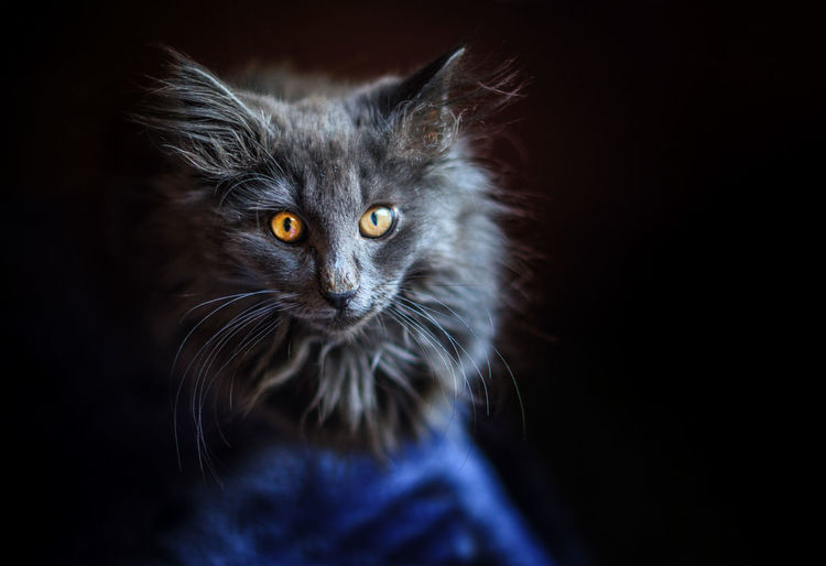 Les beaux yeux du chat. Norvegianforrestcat Black Background Pets Portrait Domestic Cat Looking At Camera Feline Black Color Yellow Eyes Close-up Animal Eye Kitten Animal Hair Cat At Home Maine Coon Cat