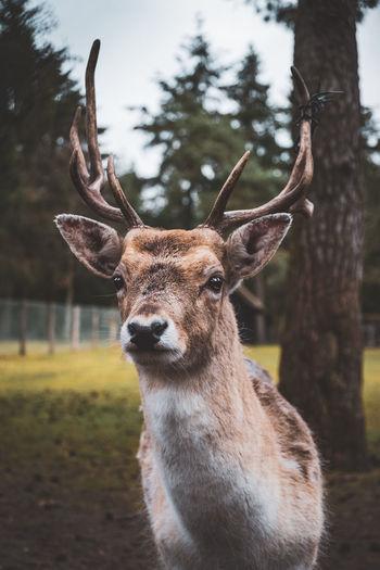 Deer portait