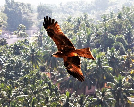 An eagle in flight over coconut grove Aerial Shot Avian Beauty In Nature Coconut Grove Eagle In Flight Focus On Foreground Natural Pattern Nature Outdoors Tiruvanthapuram, India Tranquil Scene Wing