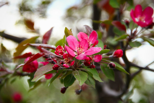 Apple Tree Beauty In Nature Blooming Blossom Branch Close-up Day Flower Flower Head Fragility Freshness Growth Leaf Malus Nature No People Outdoors Petal Pink Color Plant Selective Focus Spring Springtime Tree