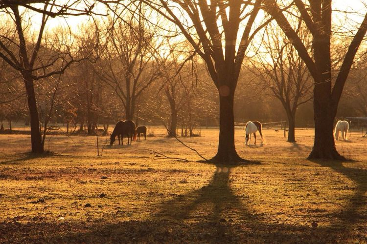 Animal Themes Backlit Domestic Animals Field Golden Hour Horses Horses Grazing Landscape Light Outdoors Shadows Shadows & Lights Sunset Three Horses Tranquil Scene Tree Silhouette Two Animals