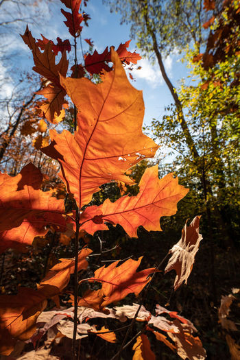 Autumn Plant Part Leaf Tree Change Plant Orange Color Nature Leaves Day Beauty In Nature Maple Leaf No People Maple Tree Branch Close-up Focus On Foreground Low Angle View Growth Outdoors Natural Condition Autumn Collection Fall