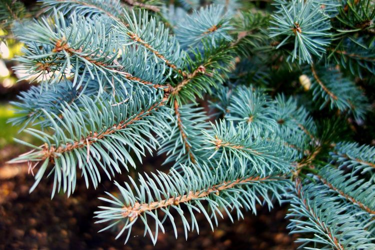 Pine tree. Green Color Nature Pine Tree No People Beauty In Nature Needle - Plant Part Close-up Pinaceae Growth Plant Needle Christmas Tree Spruce Tree Focus On Foreground Branch Day Tree Christmas Fir Tree Outdoors Backgrounds Background Textures And Surfaces Backgrounds Details Textures And Shapes Marylandisforcrabs🦀
